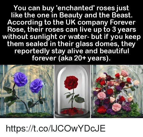 You Can Buy Enchanted Roses Just Like The One In Beauty And The