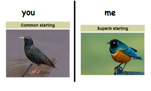 Image result for starlings meme
