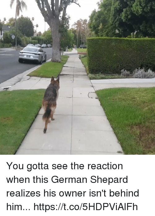 Memes, 🤖, and Him: You gotta see the reaction when this German Shepard realizes his owner isn't behind him... https://t.co/5HDPViAlFh