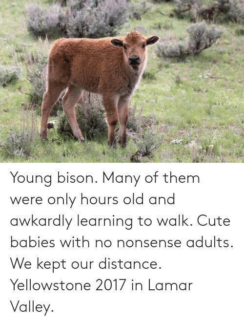 Cute, Old, and Nonsense: Young bison. Many of them were only hours old and awkardly learning to walk. Cute babies with no nonsense adults. We kept our distance. Yellowstone 2017 in Lamar Valley.