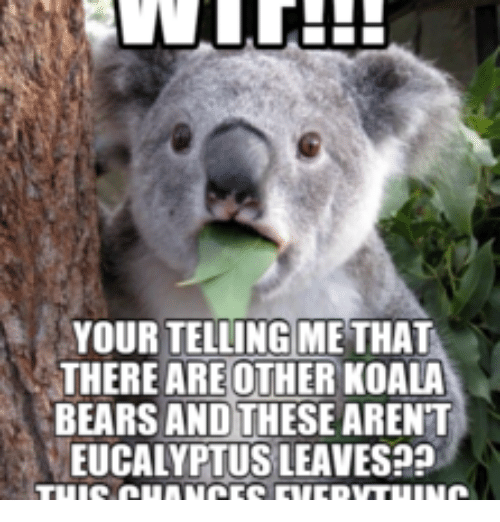 Koala, Eucalyptus, and Koala Bear: YOUR TELLING METHAT  THERE ARE OTHER KOALA  BEARS AND THESE ARENT  EUCALYPTUS LEAVES