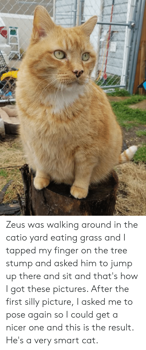 Memes, Pictures, and Tree: Zeus was walking around in the catio yard eating grass and I tapped my finger on the tree stump and asked him to jump up there and sit and that's how I got these pictures.  After the first silly picture, I asked me to pose again so I could get a nicer one and this is the result. He's a very smart cat.