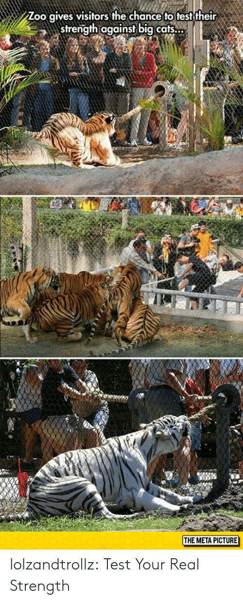 Tumblr, Blog, and Test: Zoo qives visitors the chance to test their  strength against big cafts.  THE META PICTURE lolzandtrollz:  Test Your Real Strength