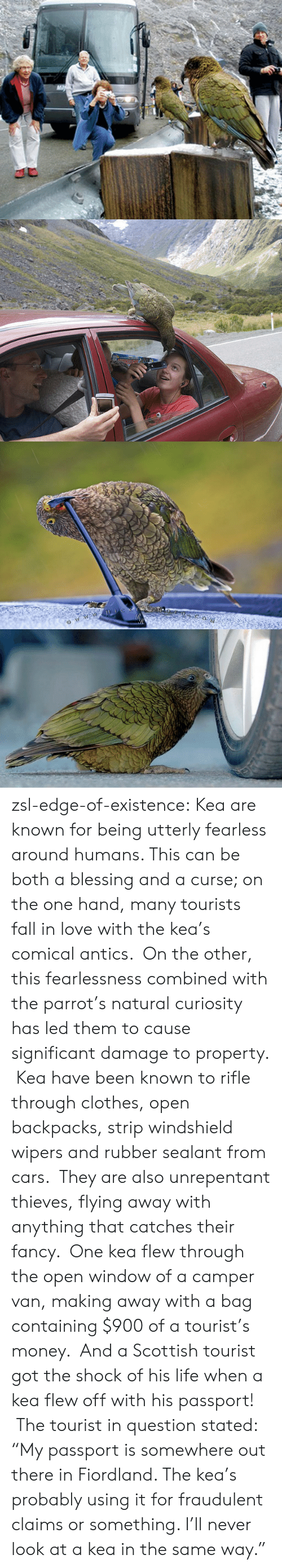 "Cars, Clothes, and Fall: zsl-edge-of-existence:  Kea are known for being utterly fearless around humans. This can be both a blessing and a curse; on the one hand, many tourists fall in love with the kea's comical antics.  On the other, this fearlessness combined with the parrot's natural curiosity has led them to cause significant damage to property.  Kea have been known to rifle through clothes, open backpacks, strip windshield wipers and rubber sealant from cars.  They are also unrepentant thieves, flying away with anything that catches their fancy.  One kea flew through the open window of a camper van, making away with a bag containing $900 of a tourist's money.  And a Scottish tourist got the shock of his life when a kea flew off with his passport!  The tourist in question stated: ""My passport is somewhere out there in Fiordland. The kea's probably using it for fraudulent claims or something. I'll never look at a kea in the same way."""
