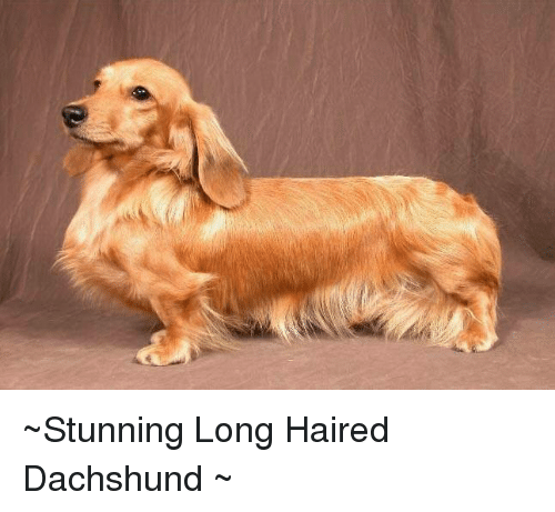 stunning long haired dachshund meme on me me